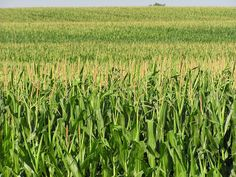 Prairies once kept the region comfy in hot weather. But when cropland replaced prairies, the change jacked up the humidity. Why? Turns out that corn, soybeans and other crops sweat. A lot.