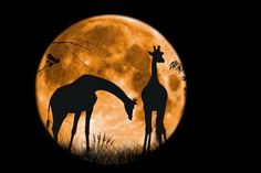 Giraffes at Full Moon by Tony Antoniou