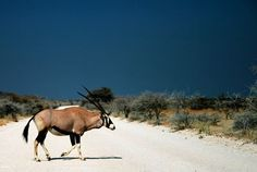 African Game—the Gemsbok  by Isaac, Jr. McLellan Most beautiful those roving tribes, The antelopes, the bounding deer, The wild deer of the Afric land, So fleet, so graceful in career. The blessbok and the springbok swift, The oryx, steinbok, and hartbeest, The quagga, pallah, and the gnu, That o'er the boundless pastures feast, Have since Creation's dawning rang'd Those grassy pastures, green and vast; And countless summers have beheld Those wild herds speeding far and fast. ...