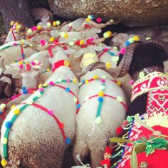 sheep are decorated with pompoms and tassels before the annual blessing  rebanho by Rosa Pomar, via Flickr