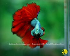 Red dragon halfmoon betta fish
