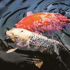 Everybody likes koi fish #naturephotography #animal fish  #nikond600 #photo #camiloyepesph #dailythreep #daily3p #lake #water #koi #koifish #kiss #orange #photography  #nikon #nikontop #mexico #nikonphotography #nikon_official #instapic #nikond610 #daily #trip  #landskapephotography #travel