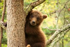 Young Grizzly Playing Peek A Boo In A Tree Photo Stream Photos - Photographer: robertrfletcher Wildlife Photography Tips, Photography Tips For Beginners, Photography Tutorials, Photo Tree, Peek A Boos, Shutter Speed, Photoshoot, Nature, Animals