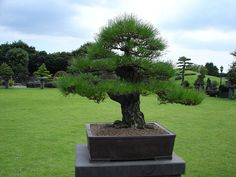 pine bonsai | Flickr - Photo Sharing!