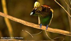 Magnificent Bird of Paradise, Cincinnurus magnificus