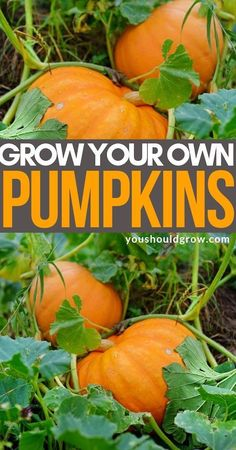Grow your own fall pumpkins and squash! Grow your own fall pumpkins and squash!,Gardening and Homesteading with You Should Grow Growing pumpkins (winter squash) is easy, but you need to know these tips for. Organic Gardening Tips, Urban Gardening, Container Gardening, Vegetable Gardening, Kitchen Gardening, Gardening Books, Apartment Gardening, Gardening Magazines, Veggie Gardens