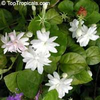 Maid of Orleans Jasmine - everyone can grow this in a pot outside and it will bloom like this most of the year.  This site has good info and if you mail order, it will begin flowering this spring.