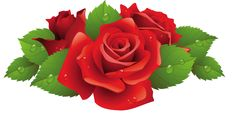 Beautiful Red Rose PNG Picture