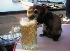 funny ferret drinking beer