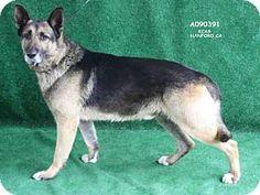 URGENT! High Kill Shelter!Hanford, CA - Senior- German Shepherd Dog. Meet A090391, a dog for adoption. http://www.adoptapet.com./pet/17684653-hanford-california-german-shepherd-dog