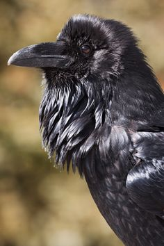 Raven 'beard' (Photographer: Norman Rich)