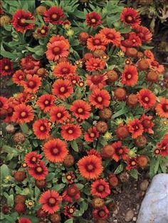 Red - Gaillardia 'Arizona Red Shades' (Blanket Flower)  Copyright Perennial Resource