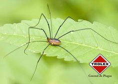 Algunos datos sobre la araña patona  Esta es una variedad o especie de araña que son parte de la familia phalangiidae y carecen de glándulas de veneno y no tienen la capacidad de girar telas de seda.  Las arañas patonas son omnívoras y se alimentan de una variedad de materiales orgánicos, heces, cadáveres, pulgones y otros insectos pequeños.