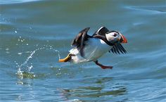 This perfectly timed shot of a puffin at #RSPB Bempton Cliffs by Pete Hewitt has made our week! #puffin