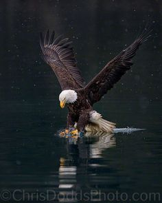 """MAJESTY - <a href=""""http://naturephotographyblog.squarespace.com/"""">www.naturephotographyblog.com</a> A vertical image of an American Bald Eagle fishing in a winter snow storm or blizzard at Kachemak Bay near Kenai Fjords National Park, Alaska. The Bald Eagle (Haliaeetus leucocephalus, Pygargue a Tete Blanche) is a bird of prey found in North America. It is the national bird and symbol of the United States of America. This sea eagle has two known sub-species and forms a species pair with the…"""