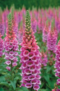 Candy Mountain foxglove - the first foxglove to have upward facing flowers, instead of the usual downward facing ones! Gorgeous!