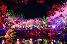 夜櫻/Sakura at night Nantou, Taiwan