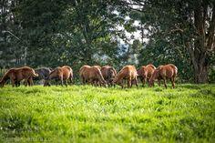 Horses @ Cerro Punta - Chiriqui | by ramonpereira.com Panama, Horses, Animals, Animaux, Horse, Animal, Animales, Panama City, Animais
