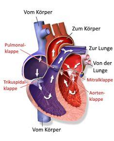 Über das Herz-Kreislauf-System werden Organe und Gewebe ausreichend mit Sauerstoff versorgt und Abfallstoffe wie Kohlendioxid abtransportiert.