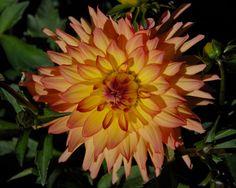 Little Princess (#1328) Classification: Semi-Kaktusdahlien Color: lachsrosa, dunkle Spitzen, gelber Grund Height: circa 50 cm Blossom size: 10 cm - 15 cm