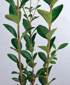 Ligustrum ovalifolium | groenblijvende struik wordt tot 2 meter hoog.