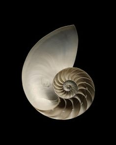 The Queen of Spirals : The Chambered Nautilus Patterns In Nature, Textures Patterns, Fibonacci Spiral, Nautilus Shell, Sacred Geometry, Sea Creatures, Sea Shells, At Least, Black And White