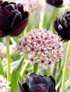 Dark Night Duo with 35 bulbs these are very pretty but for alliums they are short--only 6-10'' tall. $25.88 for the collection