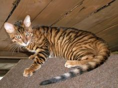 Pedigree Cat Breeds - Toyger © JungleQueen Toygers To understand the breed, it's probably best to refer to the founder breeder rather than the f. Toyger Kitten, Bengal Kitten, Exotic Cat Breeds, Exotic Cats, Pedigree Cats, Pet Health Insurance, Cat Photography, Domestic Cat, Love Pet