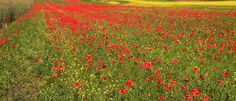 Castelluccio, Umbria, Marche - an ocean of ​​poppies by Celo Risi