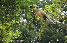 'Flying' Proboscis monkeys of Borneo  Photo: cedeprudente.com