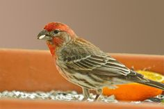 House finch enjoying safflower seeds and fresh orange.  No fancy feeder is necessary . . . I use a clay pot saucer to hold the seed and provide a fresh fruit for variety.  This year was the first time I tried the safflower seed and they loved it! I heard that it was bitter, but the finches finished off 5 lbs in 3 days.