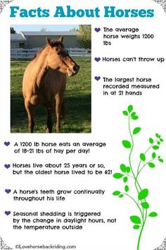 [sc [sc Check out these fun facts about horses! How much hay does a horse eat in a day? How does my horse know when to start shedding? You can read even more facts by clicking the pin… Continue Reading → Horse Camp, My Horse, Horse Love, Horse Gear, Dressage, Horse Information, Horse Riding Tips, Horse Anatomy, Horse Care Tips