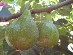 Infused Fig Balsamic Vinegar recipe!