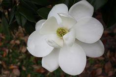 magnolia tutorial
