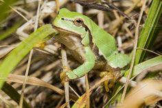Little frog Photos Little frog on field by luismigueljj