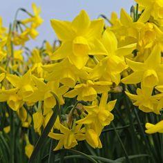 'Miss Lizzy' ist eine Narzisse mit intensiv gelben Blüten. Jede Zwiebel bildet nciht nur eine, sondern mehrere Blüten. Toll für den Garten zu Ostern! Pflanzzeit ist im Herbst - online erhältlich bei www.fluwel.de