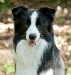 Smarty Jones - Border Collie
