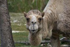 Dromedary Camel Photo by Alvaro Barrera — National Geographic Your Shot