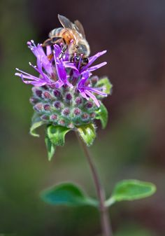 Coyote mint (Monardella villosa) and bee