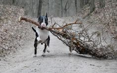 english bull terrier in the woods ;-)