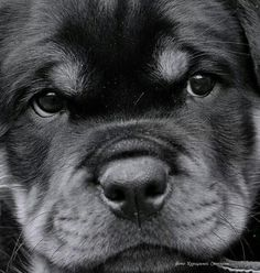 """See our internet site for additional info on """"rottweiler pups"""". It is an excepti… See our internet site for additional info on """"rottweiler pups"""". It is an exceptional location to learn more. Cute Puppies, Cute Dogs, Dogs And Puppies, Doggies, Chihuahua Dogs, Teacup Chihuahua, German Dog Breeds, Best Dog Training, Training Tips"""