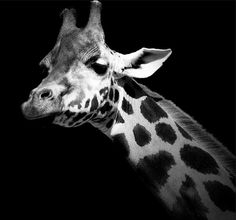 Here Are Some Of The Most Amazing Black & White Animal Portraits You Will Ever Get To See!Top 10 Rate | Top 10 Rate