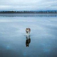 фото хаски на озере