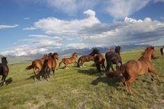 Wild Mustangs of Ennis