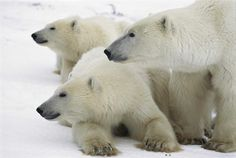 Polar Bear Mother and Her Cubs, Hudson Bay, Canada, 1999 Christie's Boundless: 125 Years of National Geographic Photography www.christies.com/natgeo Estimates starting at $400