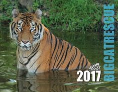 """2017 Big Cat Calendar - Back in StockDon't Miss Out - Get yours today at : http://big-cat-rescue.myshopify.com/products/calendar-big-cat-rescue13-month glossy color calendar features the big cats who call Big Cat Rescue home.  Each month you will enjoy a fabulous big cat image to go wild over! Only a limited number will be printed, so to ensure you receive your 2017 Big Cat Rescue calendar order it today! The calendar is approximately 8.5"""" x 11"""" when closed, 17"""" x 11"""" when fully open."""