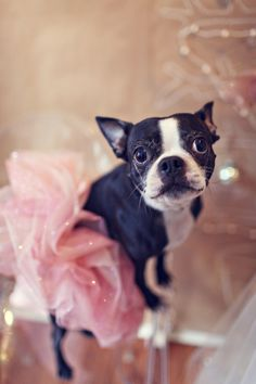Pink couture tutu on adorable Boston Terrier. @Hayden Russell Brooker I think Patience needs this!