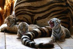 Three baby tigers stay near their mother at the Siberian Tiger Park in Harbin, China Baby Tigers, Cute Tigers, Tiger Cubs, Baby Cubs, Tiger Tiger, Baby Lions, Animal Quotes, Animal Memes, Animal Captions