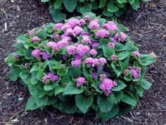 Flossflower is an annual that is a member of the aster family. The plants grow easily from seed and with enough water and a little shade, will bloom from midsummer to frost.