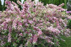 Weigela (Weigela spp.) by Cheryl Gabriele. For a pretty shrub with interest from early spring through fall, plant weigela in your borders and flower beds. For a compact shrub with bold pink flowers and burgundy fall foliage, try Fine Wine.